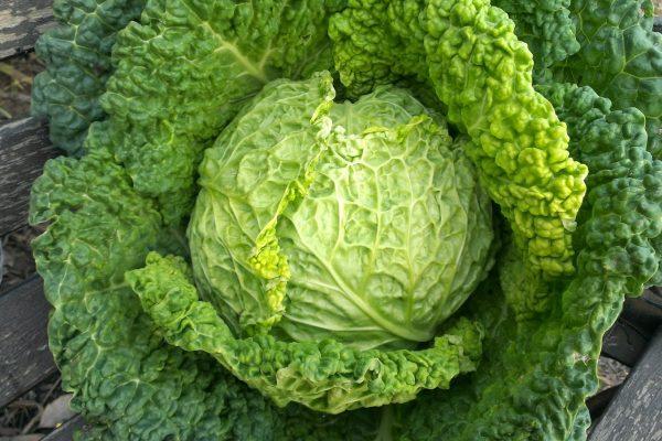 cabbage_welfare_alimentation_lake_of_Como